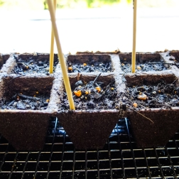 Growing herbs from seed.